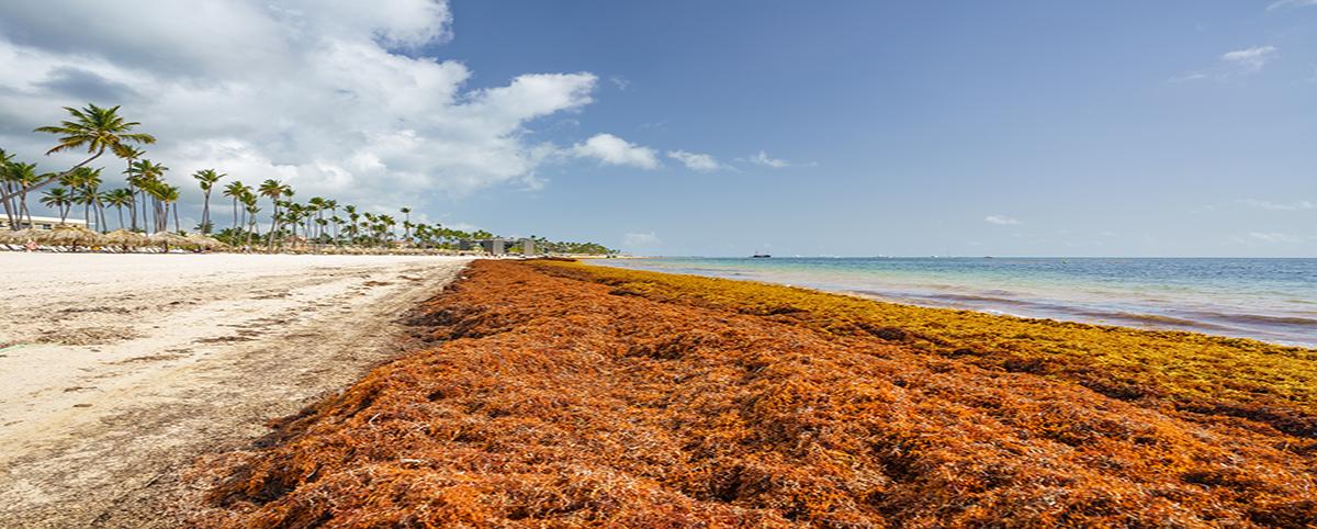 Sargassum in Caribbean beaches